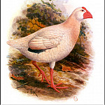 PO_Extinct_Animals - PO_ExtAn_048_Porphyrio_alba