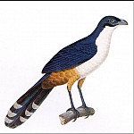 PO_Extinct_Animals - PO_ExtAn_010_Coua_delalandei