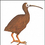 PO_Extinct_Animals - PO_ExtAn_029_Ibis_de_Hawaii
