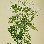 часть 3 -- European art Европейская живопись - Jasminum officinale 13018 172