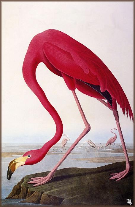 American Flamingo. John James Audubon