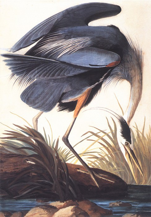 bs-ahp- John Audubon- Great Blue Heron. Джон Джеймс Одюбон