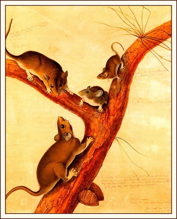 Флоридская крыса. Джон Джеймс Одюбон