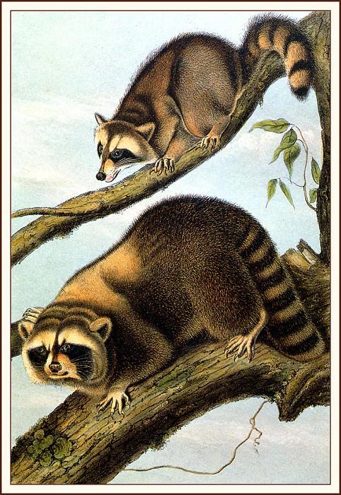 Racoon. John James Audubon