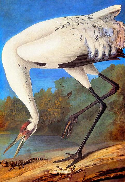 Журавль-кликун конец 1821 г.. Джон Джеймс Одюбон