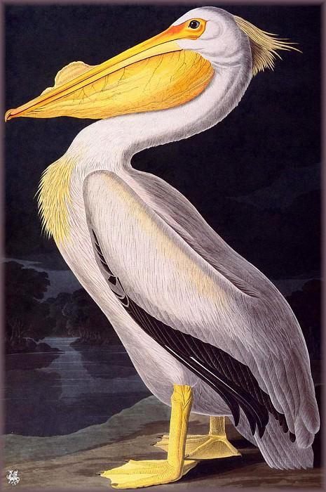 American White Pelican. John James Audubon