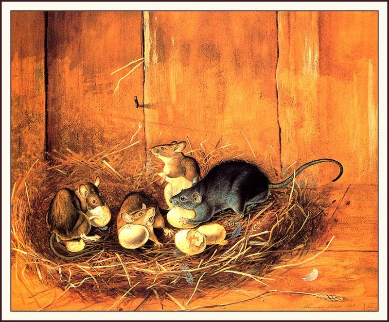 Black Rats. John James Audubon