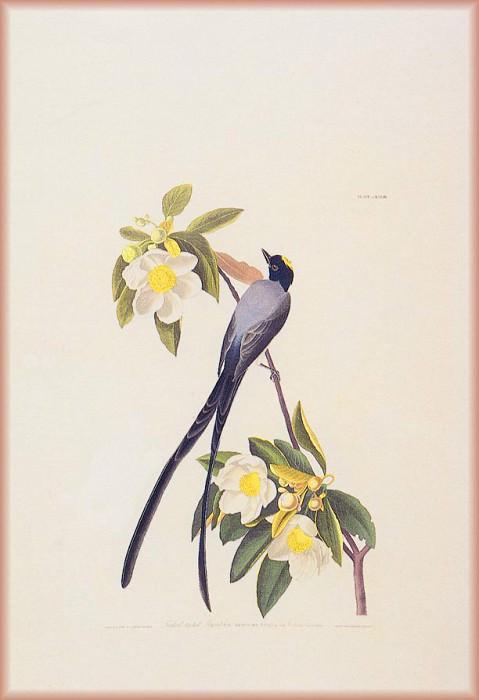 Fly Catcher. John James Audubon