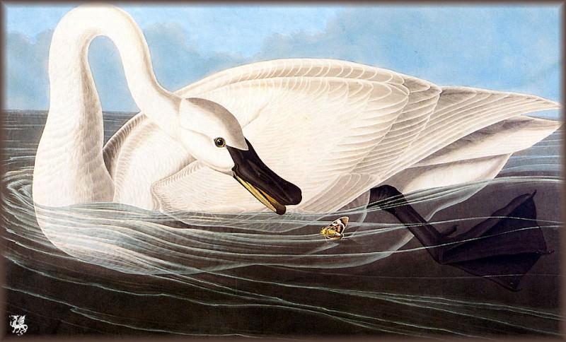 Лебедь-трубач. Джон Джеймс Одюбон