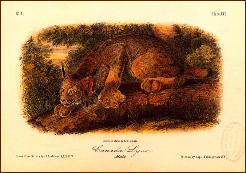 Canada Lynx. John James Audubon