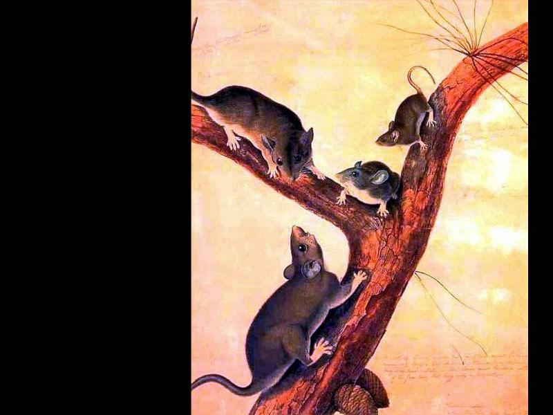 john james audubon(1832)-fl art csg053. Джон Джеймс Одюбон