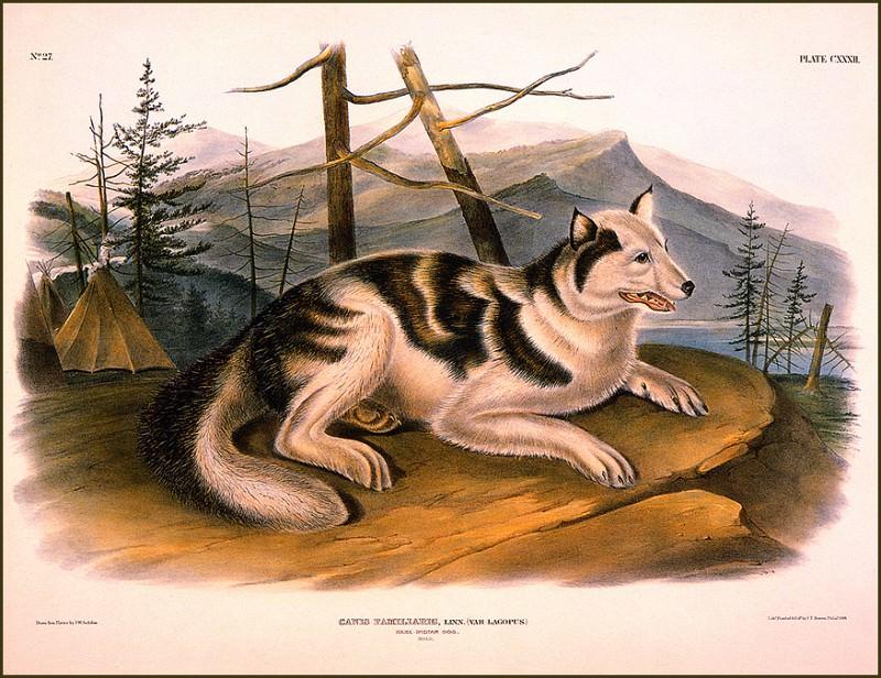 Hare- Indian Dog. John James Audubon