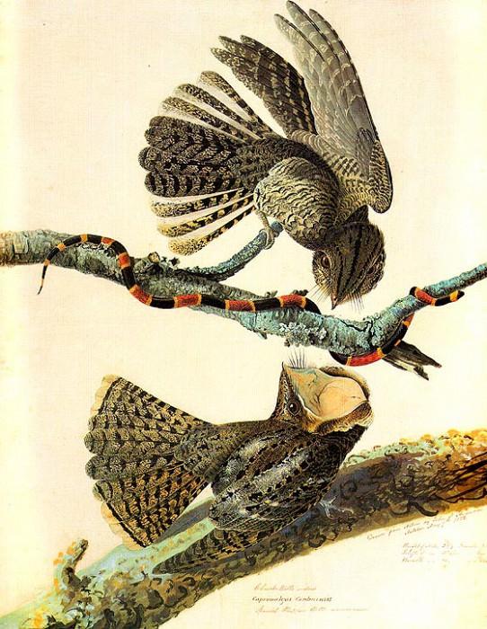 jja 0013 Chuck-Wills-Widow Natchez, Mississippi, May 7, 1822 sqs. John James Audubon