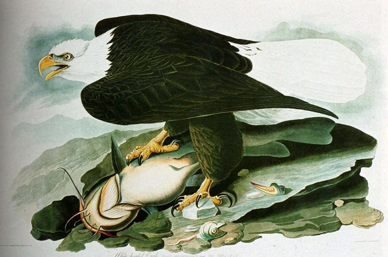 Лысый орел из книги Птицы Америки. Джон Джеймс Одюбон