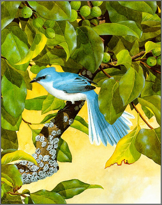 Fairy Blue Flycatcher. Norman Arlott