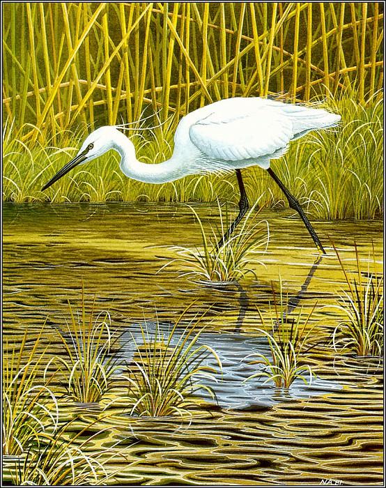 Little Egret. Norman Arlott