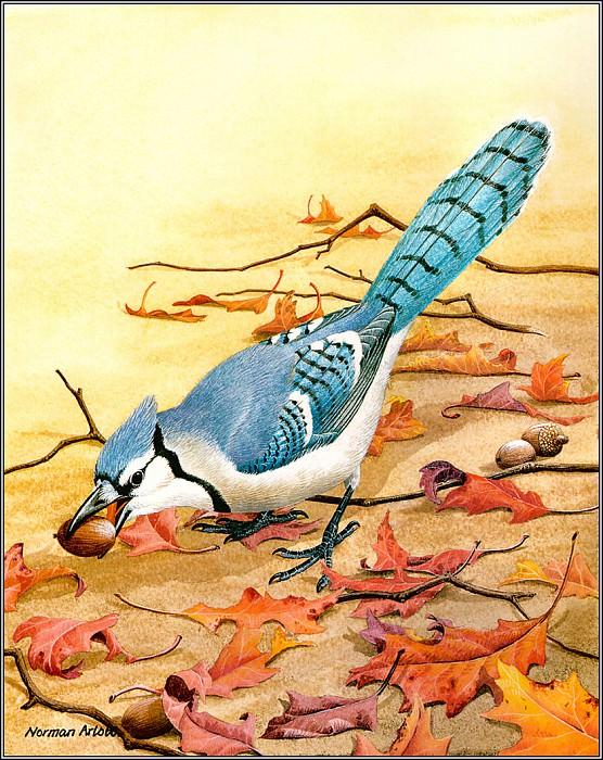 Blue Jay. Norman Arlott