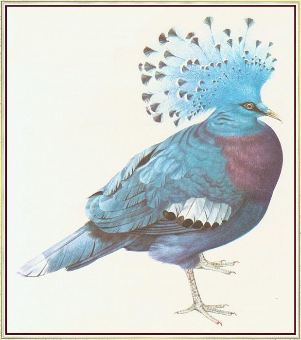 Victoria Crowned Pigeon. Peter Barrett