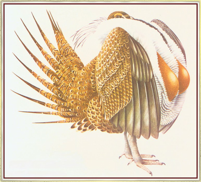 Sage Grouse. Peter Barrett