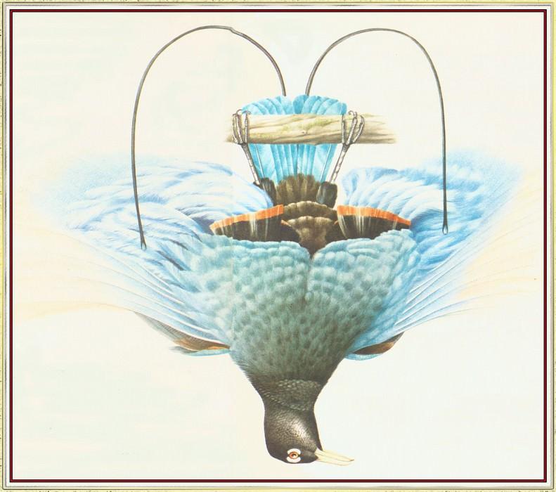 Голубая райская птица принца Рудольфа. Питер Барретт