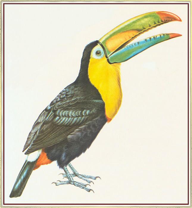 Sulphur Breasted Toucan. Peter Barrett