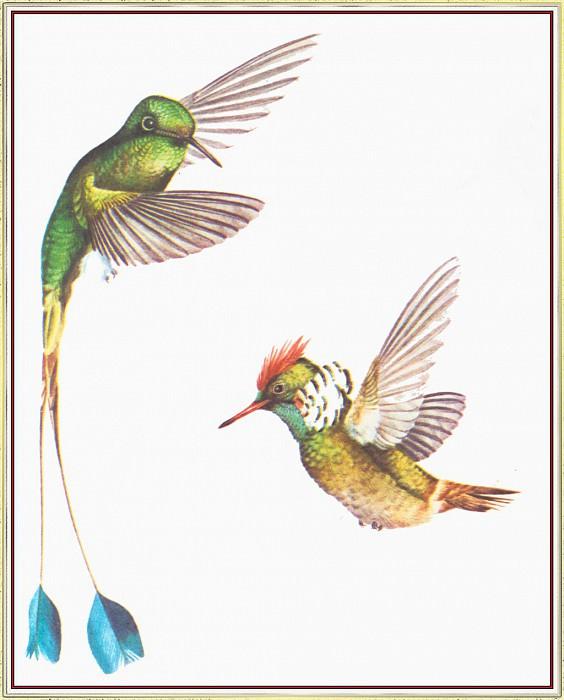 Hummingbirds. Peter Barrett