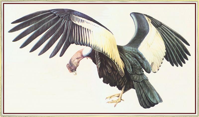 Andean Condor. Peter Barrett
