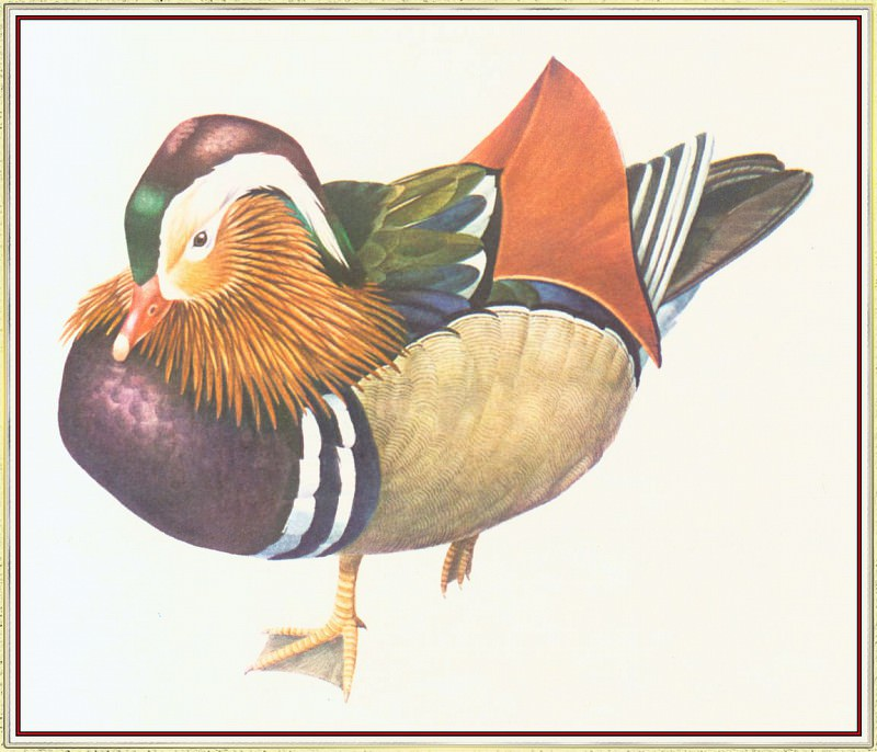 Mandarin Duck. Peter Barrett