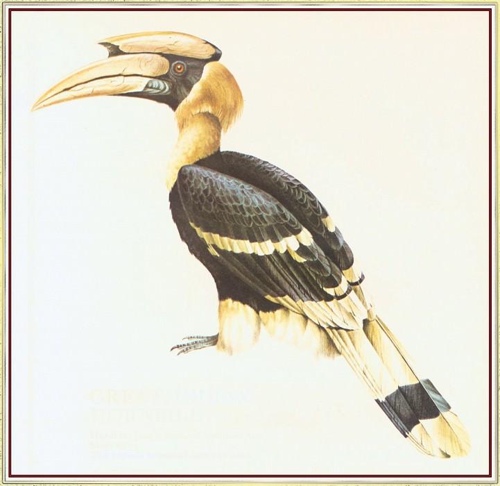 GreatIndian Hornbill. Peter Barrett