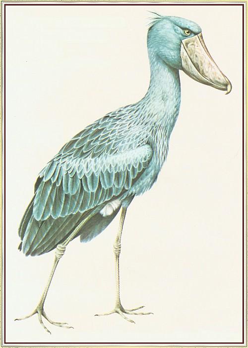 Shoebill Storkor Whalehead. Peter Barrett