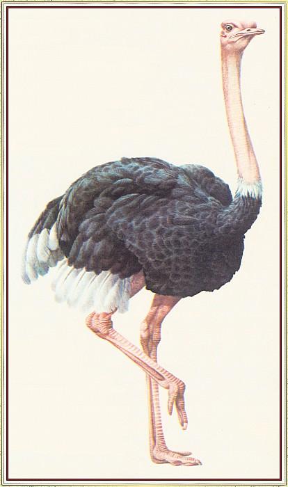 Ostrich. Peter Barrett
