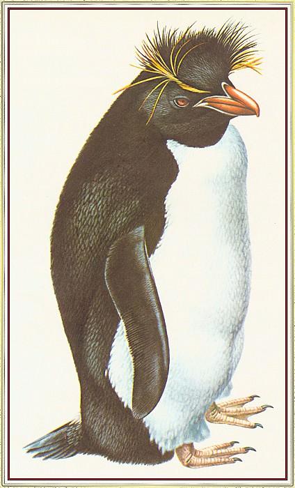 Rockhopper Penguin. Peter Barrett