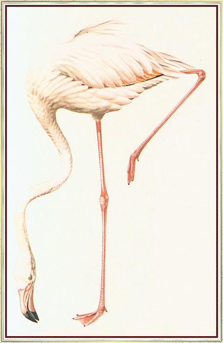 Flamingo. Peter Barrett