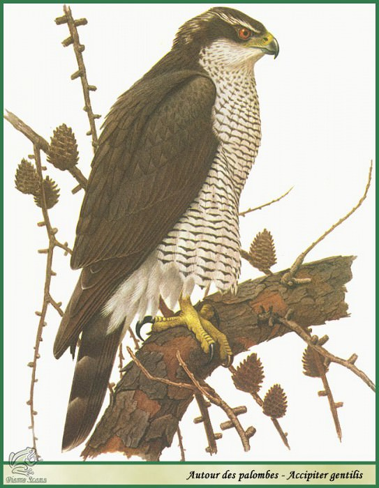 Accipiter gentilis. Paul Barruel