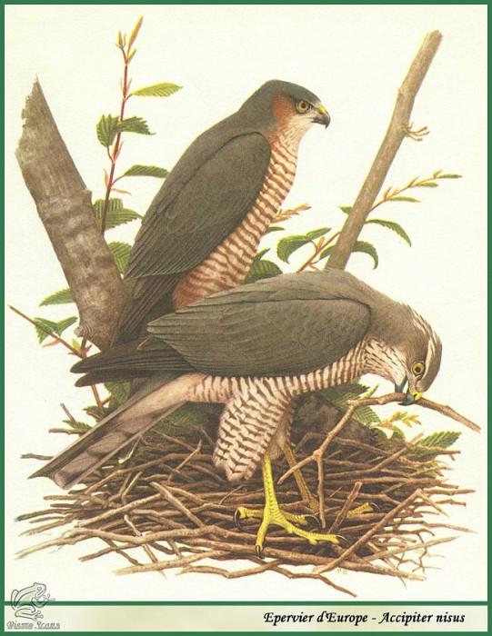 Accipiter nisus. Paul Barruel