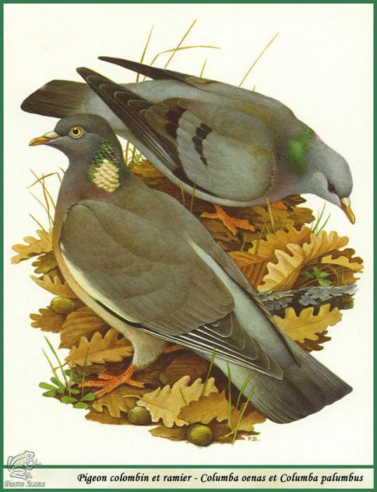 Клинтух и вяхирь (лесной голубь). Поль Баррюэль