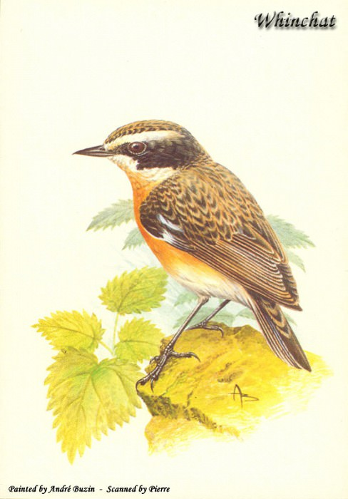 abs 15 whinchat. Andre Buzin
