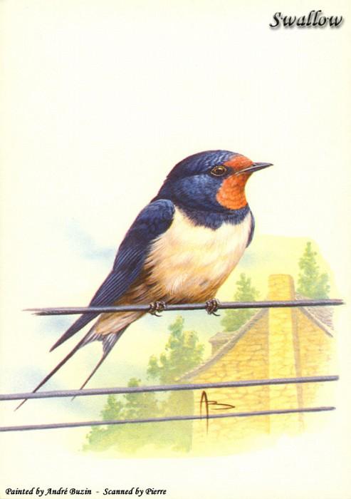 swallow. Andre Buzin