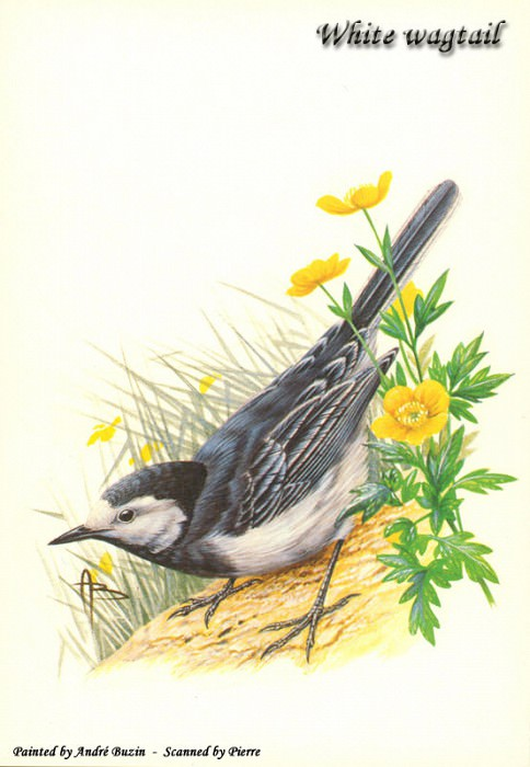 white wagtail. Andre Buzin