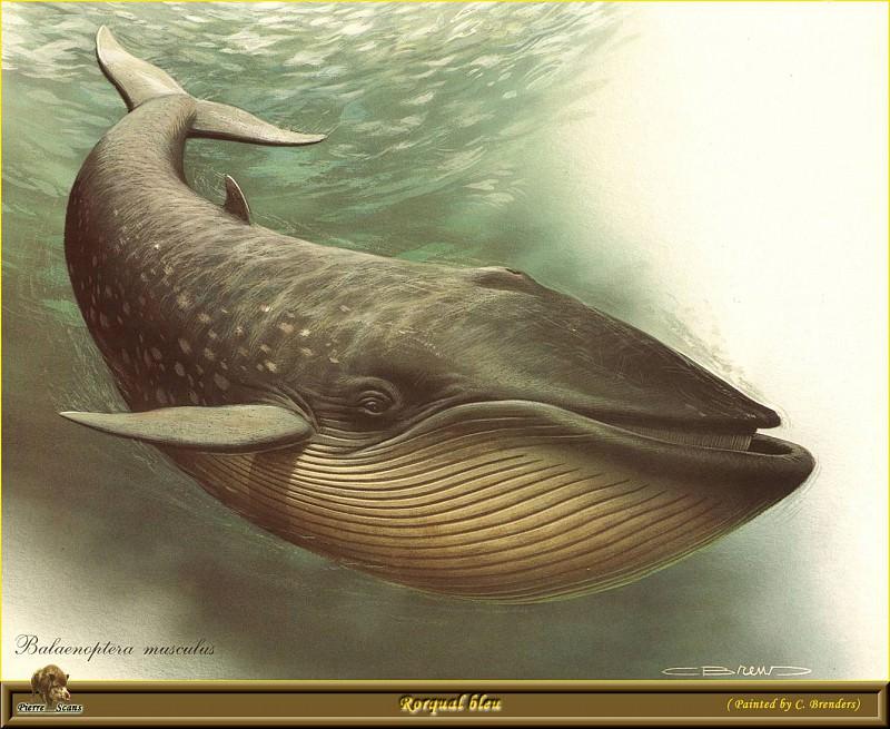 Голубой кит-полосатик. Карл Брендерс