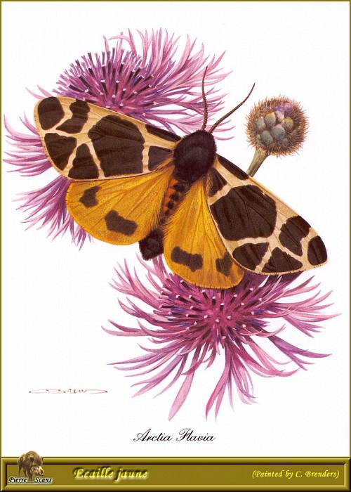 Молодая бабочка-медведица. Карл Брендерс