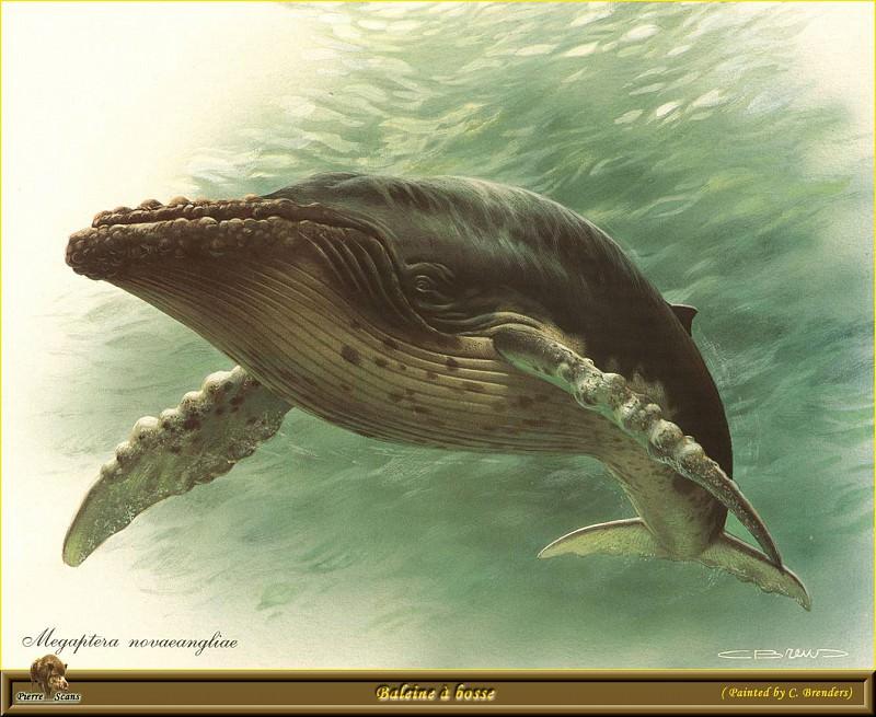 Горбатый кит. Карл Брендерс