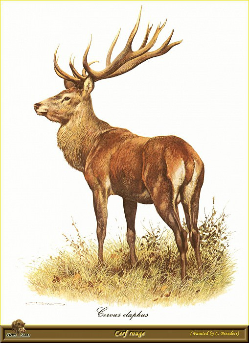 Красный олень. Карл Брендерс
