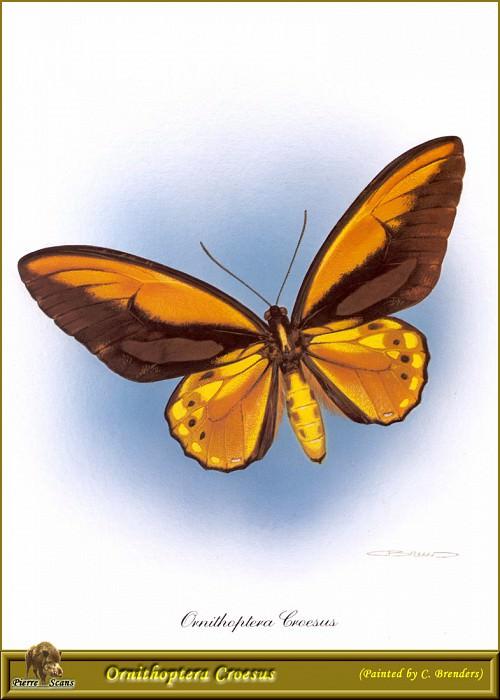 PO PButBr 35 Ornithoptera Croesus. Карл Брендерс