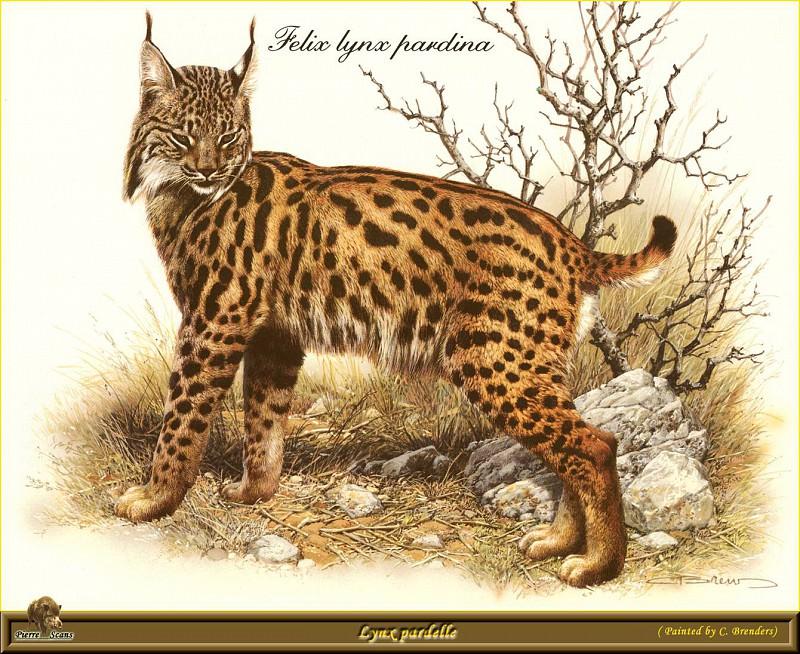 Рысь с окрасом леопарда. Карл Брендерс