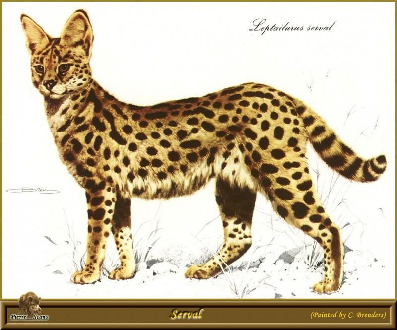 Serval. Carl Brenders