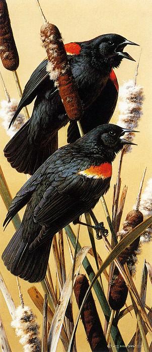 Red Winged Blackbirds. Carl Brenders