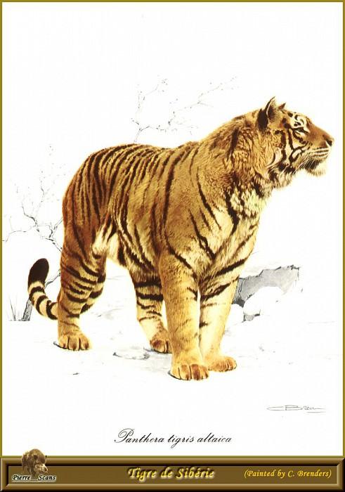 Сибирский тигр. Карл Брендерс