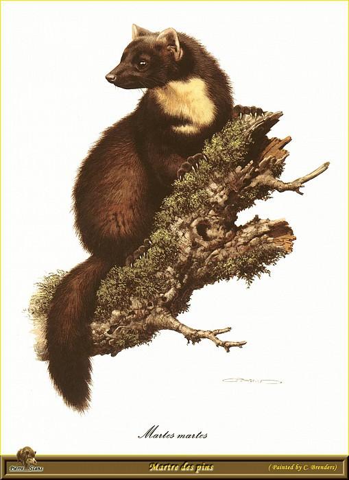 Куница, обитающая в сосновых лесах. Карл Брендерс