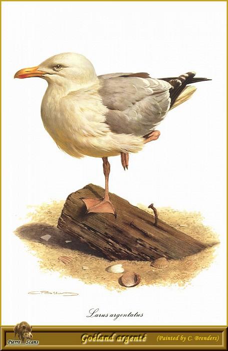 Серебристая чайка. Карл Брендерс